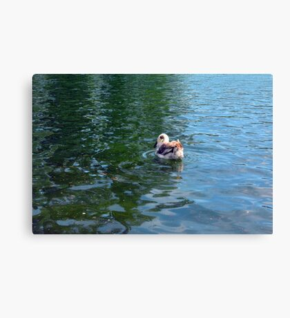 Swan in the water in the park. Canvas Print