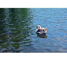 Swan in the water in the park. Photographic Print