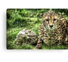 Cheetah (1) Canvas Print