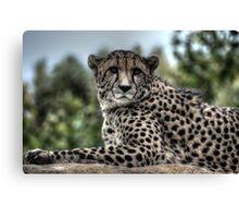 Cheetah (2) Canvas Print