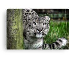 Snow Leopard (1) Canvas Print