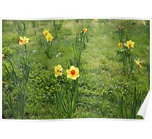 Daffodil standing tall Poster