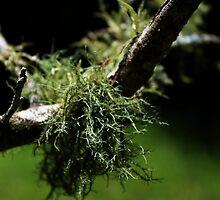 Lichen at Ebor Falls by myraj