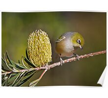 Silvereye and Banksia Flower Poster