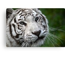 White Bengal Tiger (2) Canvas Print