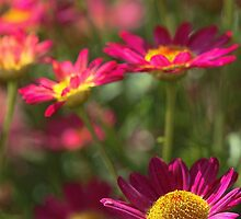 Marguerite Daisy - Madeira Red by T.J. Martin