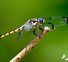 Dragonfly Up Close by TJ Baccari Photography