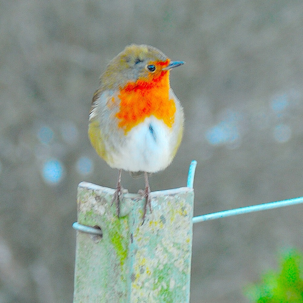 robin by Stephen Frost