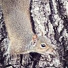 Eastern Gray Squirrel (Sciurus carolinensis) by Ludwig Wagner