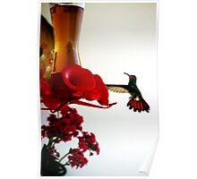 Hummingbird In Tulua, Colombia Poster