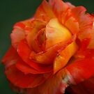 Multi-color rose by Ravi Chandra