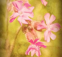 Red Campion flowers by Hugh McKean