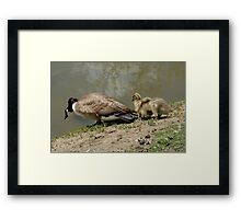 Canada Goose and goslings Framed Print