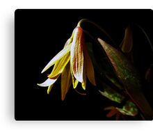 Trout lily Canvas Print