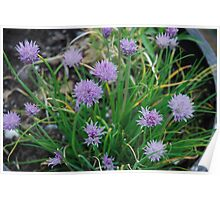 Purple Chive Flowers  Poster