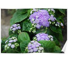 Ageratum Cool Space Flower  Poster