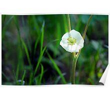 Mayapple Blossom Poster