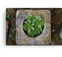 Cinder-Plant Canvas Print