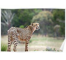 Werribee Zoo - Cheetah Poster
