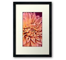 Dahlia in Bloom Framed Print