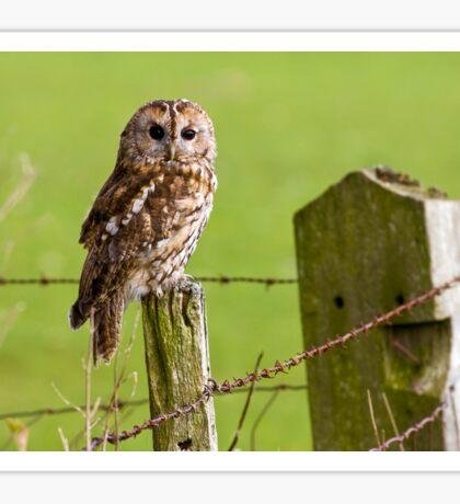 Tawny Owl on fencepost Sticker