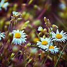 Daisy Daisy by Vicki Field
