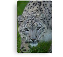 Snow Leopard (2) Canvas Print