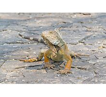 Young Iguana Photographic Print