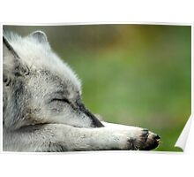 Sleeping Grey Wolf Poster