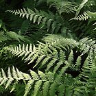 Ferns by Rusty Katchmer