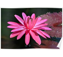 Large Pink Water Lily Poster
