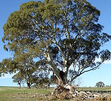 Recent Storm Damage to this mighty native Red Gum, camaldulensis, Sth Australia. by Rita Blom