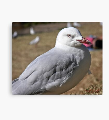 Seagull in Wollongong (1) Canvas Print