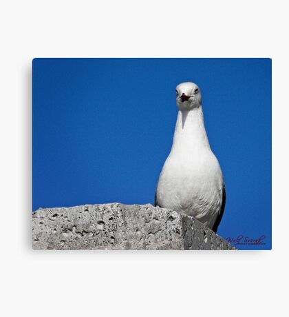 Seagull in Wollongong (2) Canvas Print