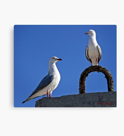 Seagull in Wollongong (5) Canvas Print