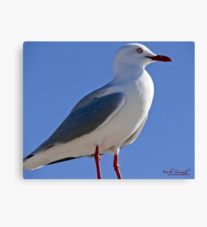 Seagull in Wollongong (6) Canvas Print