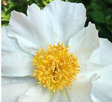 Chinese Peony by OneDayOneImage Photography
