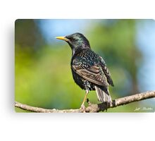 European Starling in a Tree Canvas Print