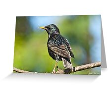 European Starling in a Tree Greeting Card