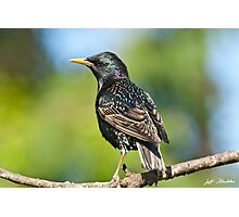 European Starling in a Tree Photographic Print