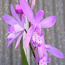 Orchid by Maryanne Lawrence