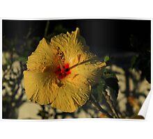 Yellow Hibiscus Flower Poster