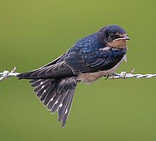 Barn Swallow by SuddenJim