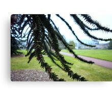 Underneath the Monkey Puzzle Canvas Print