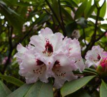 Rhododendron Blossom Cluster Sticker