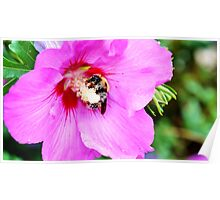 Bumble Bee Pollinating Pink Flower Poster