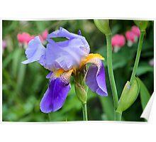 Rescue Iris Poster