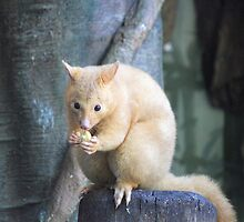 Golden Brushtail Possum by Leanne Allen
