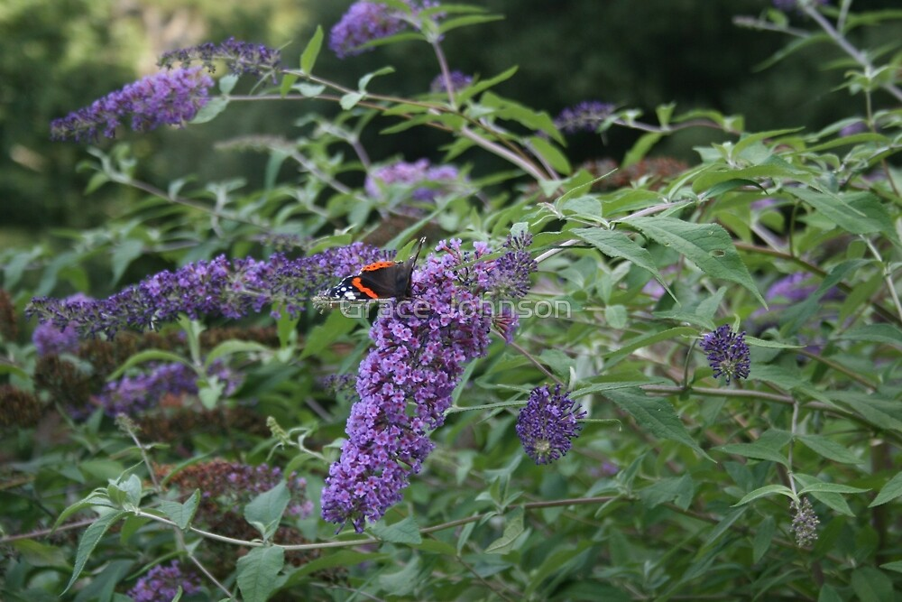 Red Admiral butterfly on rose bay willow herb by Grace Johnson