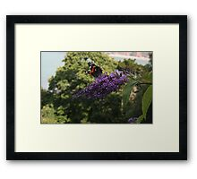 Red Admiral on rose bay willow herb flower  Framed Print